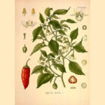 Des plantes pour les douleurs lombaires : efficacité prouvée