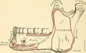 Physiologie-de-la-mastication-2_osteomag28