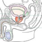 Traitement ostéopathique spécifique des douleurs pelvi-périnéales masculines: quand l'appliquer ?