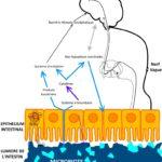 Le microbiote pour traiter la douleur viscérale ?