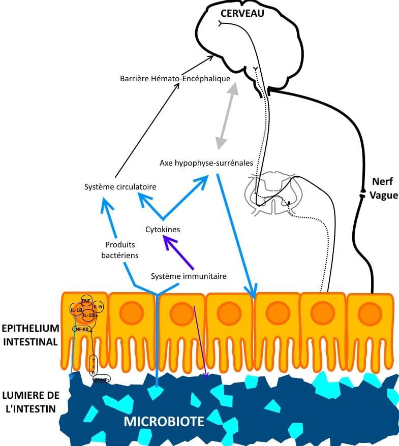 microbiote-cerveau