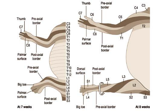 Origines embryologiques des zones musculaires des membres supérieurs et inférieurs