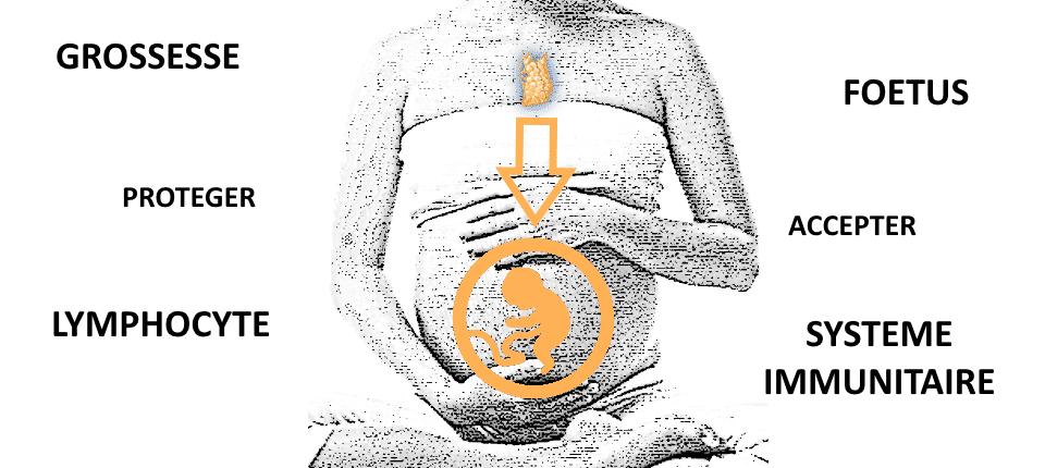 Le Thymus, chef d'orchestre de la protection du foetus